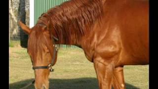 Mister T Man - Sorrel Appendix Quarter Horse Stallion with incredible pedigree!!!