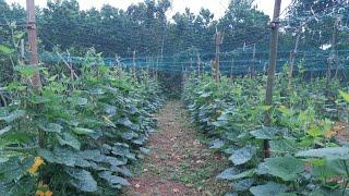 kĩ thuật trồng bí đỏ leo giàn p2: bấm ngọn, làm giàn