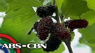 Bandila: Mulberry picking, patok sa Pampanga