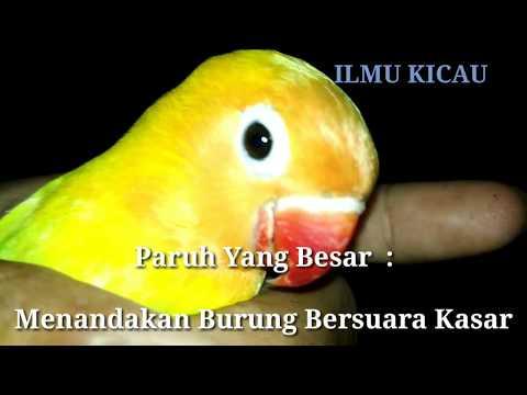 7 Langkah Jitu !! Memilih LOVEBIRD PROSPEK Dari Ombyokan