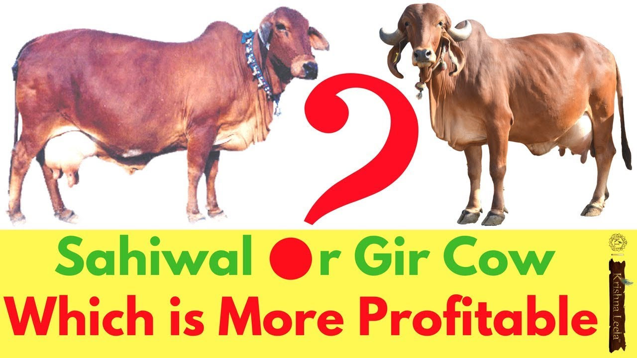 Best Sahiwal Cow Dairy Farming in India - Breed for High Milk Productivity