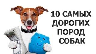10 САМЫХ ДОРОГИХ ПОРОД СОБАК