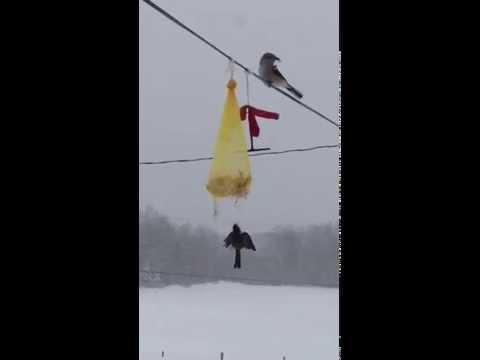 A Shrike Kills a Chickadee