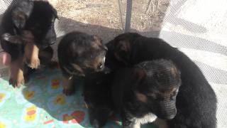 Породистые щенки немецкой овчарки СПб
