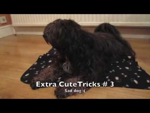 Lola Tibetan Terrier - Trick Dog Champion Title