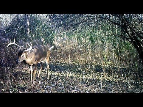 Big Mature Whitetail Deer Buck Visits the Trail Camera