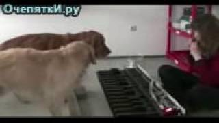 Две собаки и женщина!