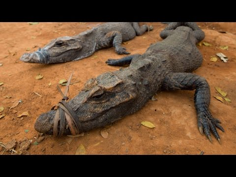 Mysterious crocodile of the Congo (Osteolaemus osborni) on Perspective Wild