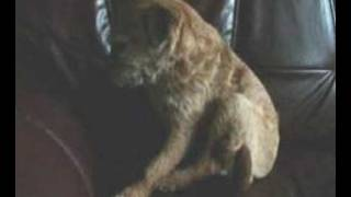 Border Terrier Cecs  - Dog 2