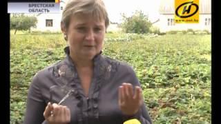 видео Как получить второй урожай клубники. Удобряем клубнику летом
