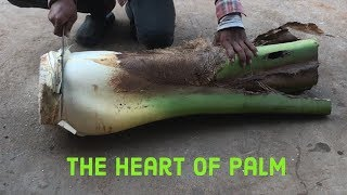 Cutting coconut and Discover The heart of palm for Swamp Cabbage Strew thumbnail