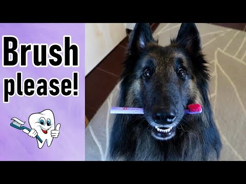 Dog Demands to Have His Teeth Brushed!