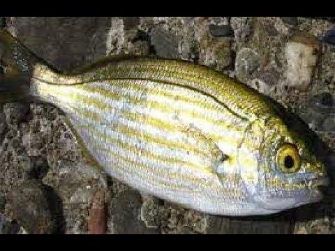 এই মাছ খেলে মদ গাঁজার চেয়েও বেশি নেশা হয়
