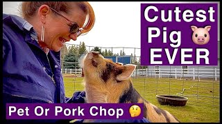 Why Choose KuneKune?? Pet Mini, Tea Cup, Micro Pig VS Meat Pig? Smallest Pig Breed. Cute Piglets