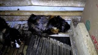 Suara si Marmut ( Guinea pig ) jantan mirip burung saat betinanya baru melahirkan...