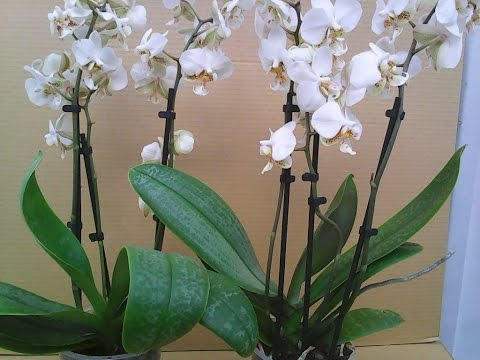 Фаленопсис Стюарта, Phalaenopsis Stuartiana💞💞💞💞 Белая....