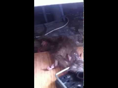 scary-monster-rat-caught-by-pest-control-in-london