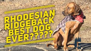 The Rhodesian Ridgeback | Are they good dogs?