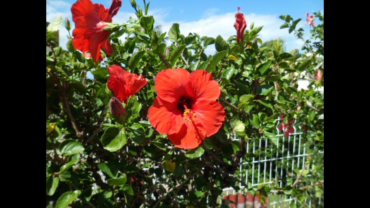 soin du cheveu *8 : soin à la fleur d'hibiscus contre la chute de