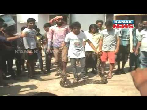 15 Feet Long Python Rescued From Ganjam