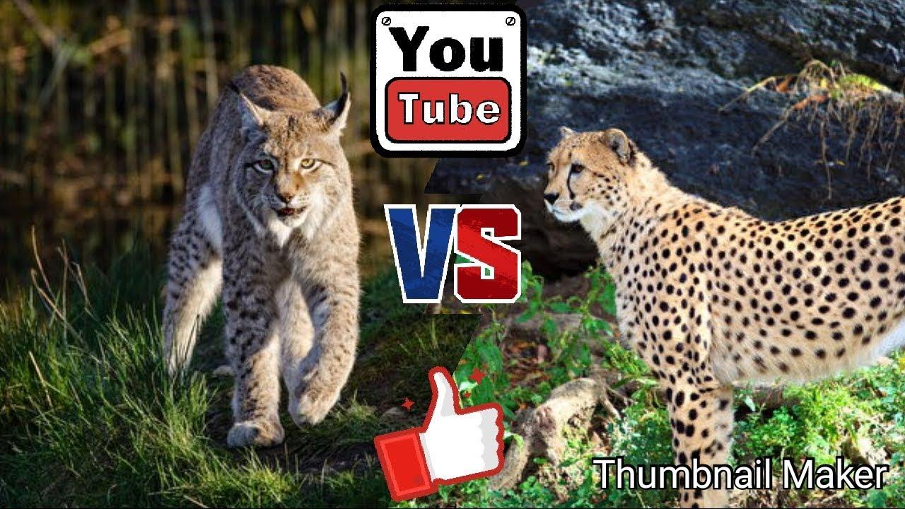 Рысь против гепарда. Lynx against Cheetah. Животные. Батл животных.