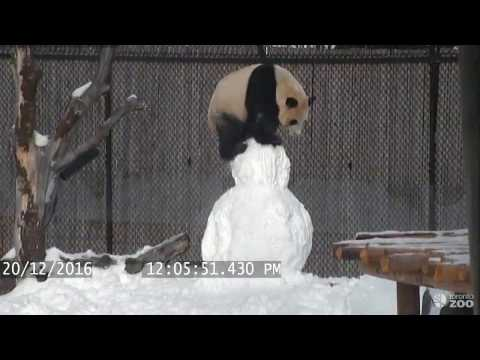 Panda Makes Friends With A Snowman & It's Hilarious!