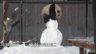 Repeat youtube video Toronto Zoo Giant Panda vs. Snowman