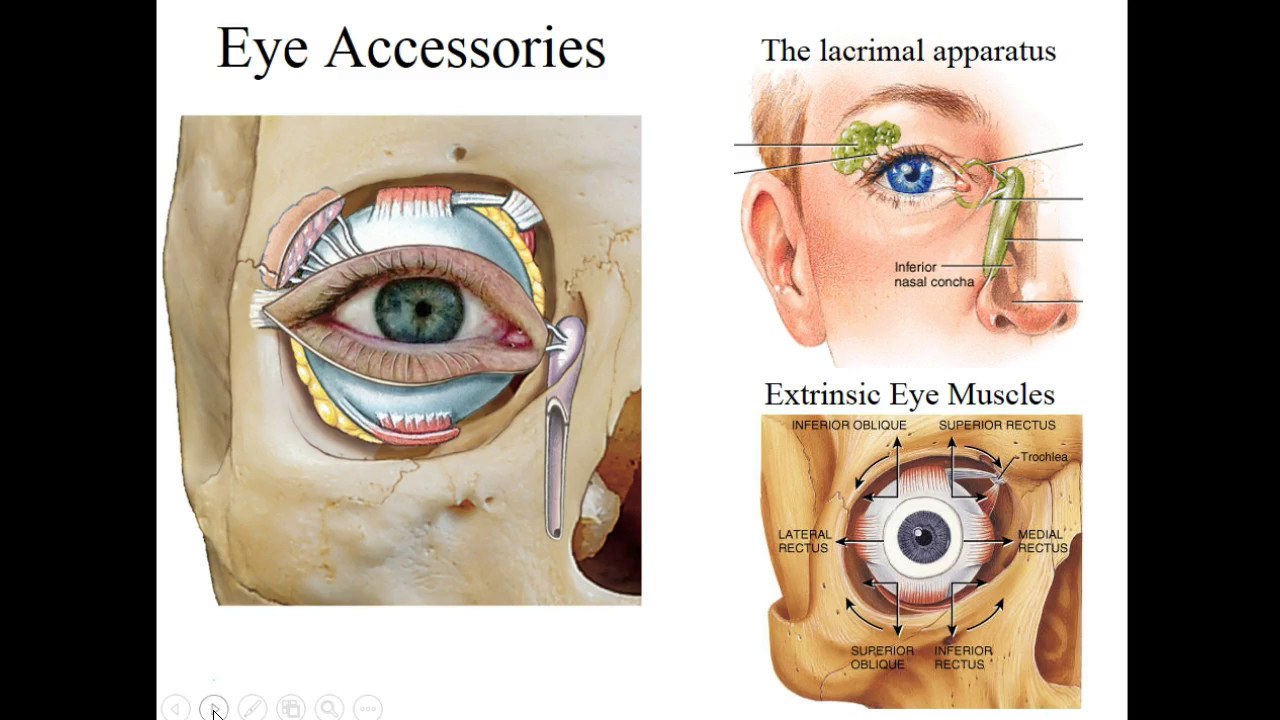 Basic Structure & Function of the Eye - YouTube