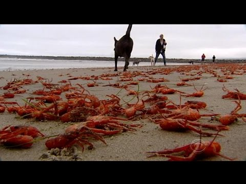Red crabs invade California beaches