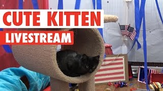 Cute Patriotic Kittens Pre-recorded Livestream 2016