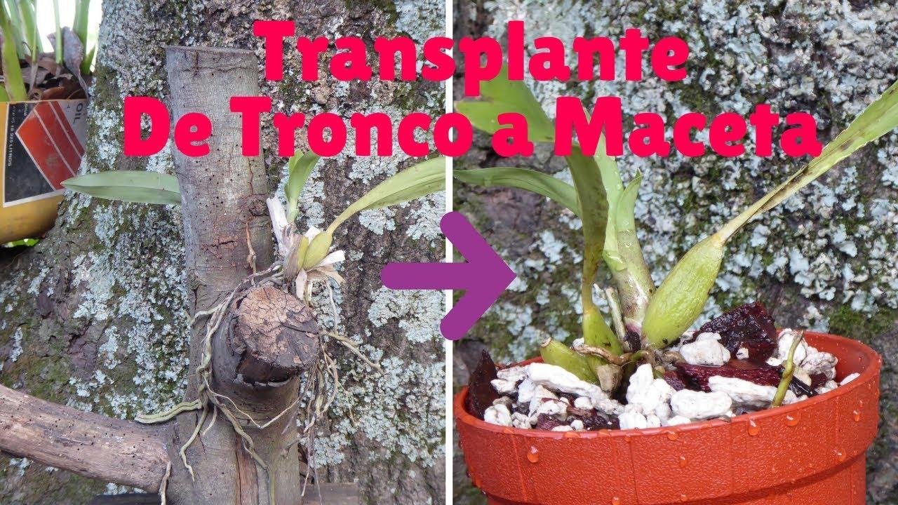 C mo transplantar una orqu dea de tronco a maceta - Como cuidar orquideas en maceta ...