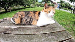 【猫集会】三毛猫が仲間を呼ぶと、テーブルの上に可愛い猫達が集まってきた