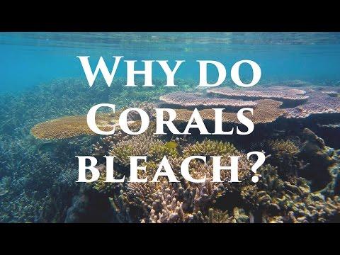 Why do corals bleach?
