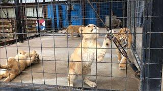 仔ライオンと仔トラのじゃれ合いの様子。ホワイトタイガーが我関せずっ...