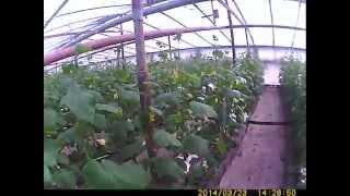 ОГУРЕЦ выращивание сорт герман и верхние форточки(сегодня покажем огурец перед первыми сборами , такая первая ступенька в урожае в процессе выращивания огур..., 2014-04-29T16:18:43.000Z)