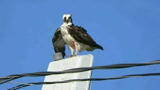 Allen's Harbor Osprey Nest Male In High Winds Slow-mo Funny Face Feathers  April 16, 2019