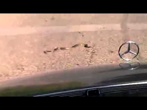 Snake on the Road   Montenegro Bijelo Polje