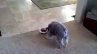Mini Schnauzer Eating