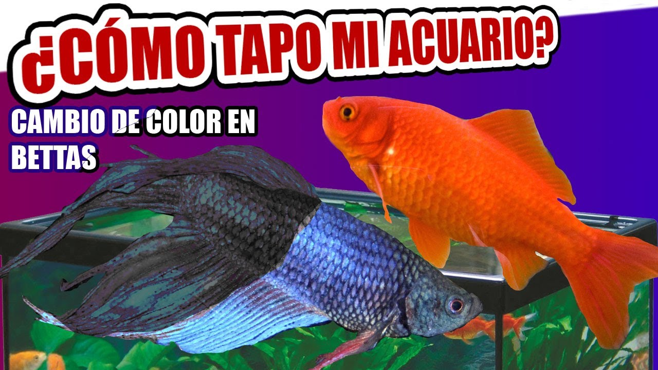 Cambios de color en bettas tapar acuarios acuarios for Red para peces de acuario