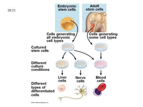 adult-stem-cell-production-of-twins