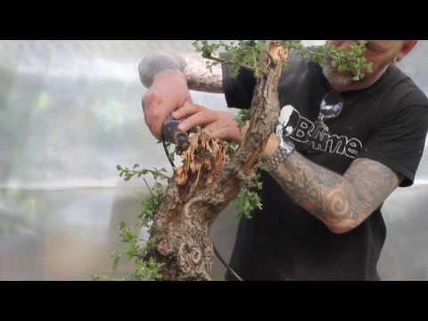Carving a Hawthorn Bonsai with Harry Harrington