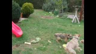 Heidi And Gizmo Playing Tug
