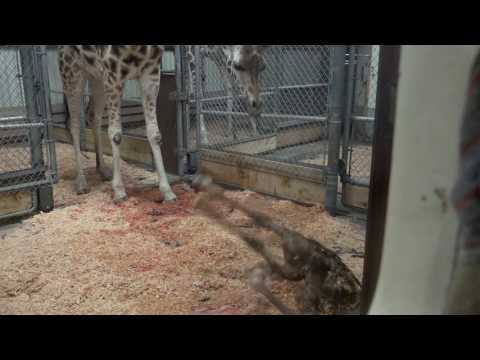 Thumbnail: Giraffe baby learns to stand