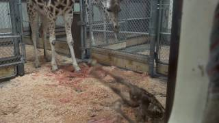 Giraffe baby learns to stand