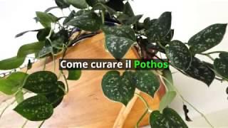 Come curare il pothos (epipremnum o scindapsus)