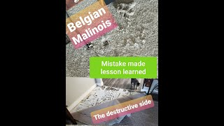BELGIAN MALINOIS: (share) DO NOT LEAVE ALONE. (Destructive) Mistake made lesson learned.