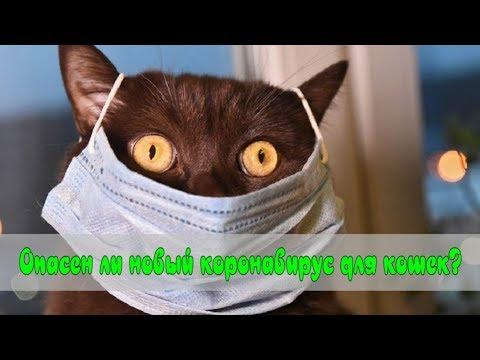 Опасен ли новый коронавирус для кошек? Is New Coronavirus Dangerous For Cats?