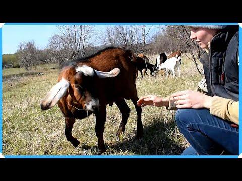Почему только нубийские козы. Как пришли к этому выбору