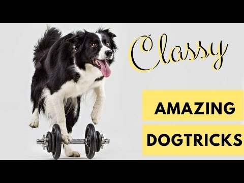 Classy DOG TRICKS performed by CLASSY the Border collie