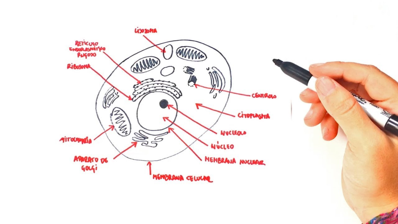 Dibujo De Celula Animal Para Colorear: Cómo Dibujar Un Célula Animal Paso A Paso